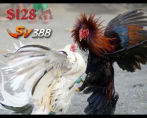 Juragan Ayam - Jagonya Agen Sabung Ayam di Indonesia, Agen Sabung Ayam Terbaik di Indonesia