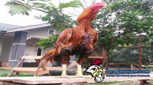 Cara Melatih Ayam Aduan