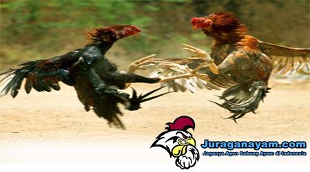 Jenis Ayam Aduan