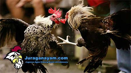Merawat Ayam Bangkok Sehabis Berlaga