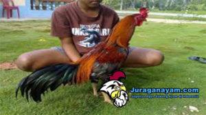 Merawat Ayam Bangkok Di musim Kemarau