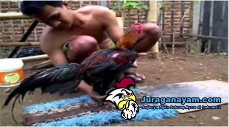 Cara Merawat Ayam Bangkok Aduan setelah Ditandingkan
