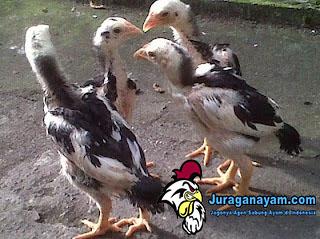 Cara Memilih Anak Ayam Bangkok Usia 2 Minggu