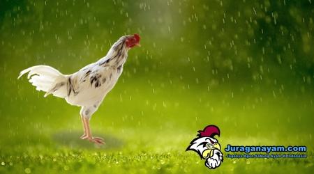 merawat ayam aduan saat musim hujan