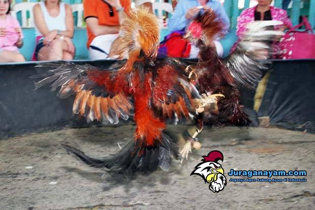 Kota Xinjiang Uygur Legalkan Judi Sabung Ayam