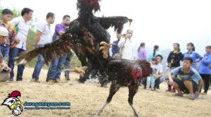 tradisi sabung ayam