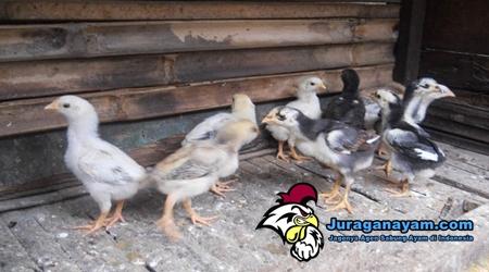 Anakan Ayam Bangkok Yang Berkualitas