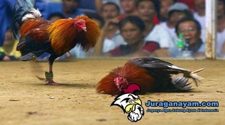 Asal Ayam Bangkok