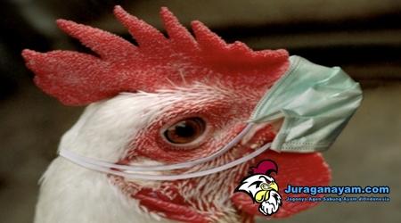 Ayam Ngorok