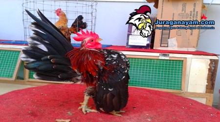 Ayam Serama Untuk Koleksi Penggemar Ayam Hias