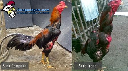 Ayam Suro
