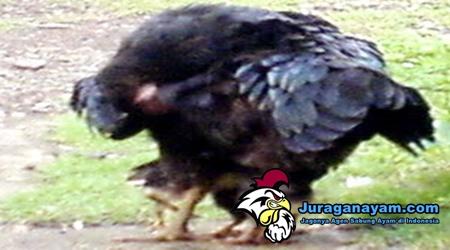 Induk Ayam