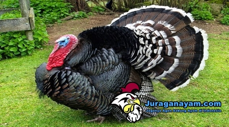 Berternak Ayam Kalkun