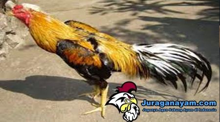 Bulu Ayam Bangkok