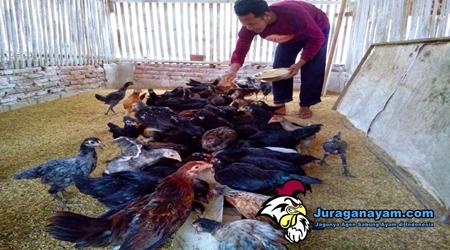 Cara Agar Ayam Tetap Sehat Selalu