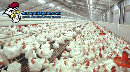 Cara Memulai Usaha Ayam Potong Untuk Para Juragan Ayam