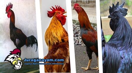 Harga Ayam Hias