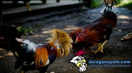 Kemampuan Tarung Ayam