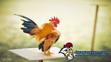 Membudidayakan Ayam Serama
