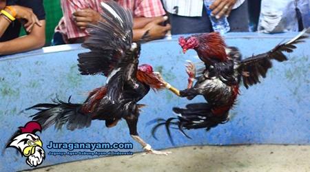 Pukulan-pukulan Ayam Bangkok