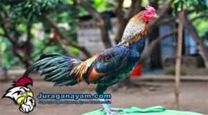 Ciri Fisik Ayam Burma