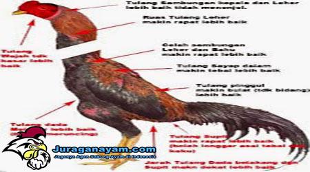 Cara Melatih Ayam Aduan Menjadi Juara
