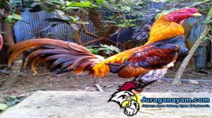 Ciri Kaki Ayam Kuat Dan Pukul Keras