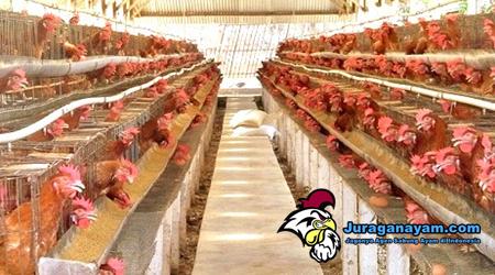 Usaha Baru Ayam Petelur Yang Sedang Diminati Para Pengusaha