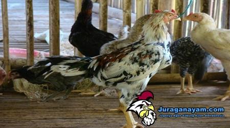 ayam yang sehat dan sakit