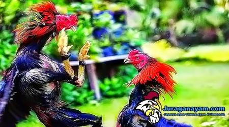 bertarung ayam