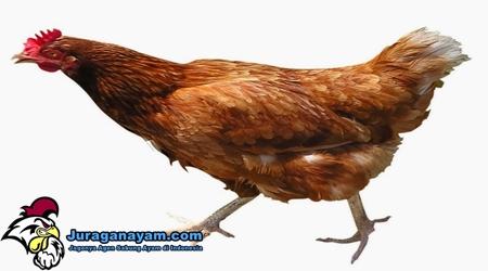 Fakta Ayam
