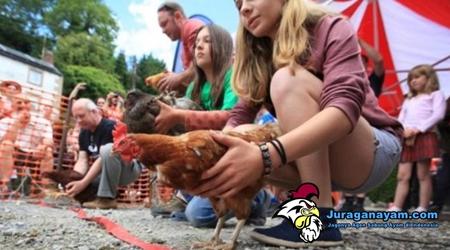 merawat ayam aduan