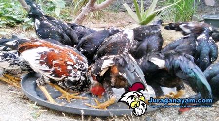 pakan ayam yang baik