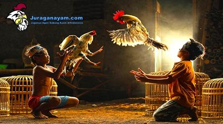 Ayam Aduan Berkualitas