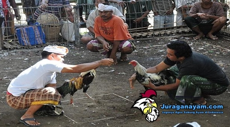 Ayam Aduan Indonesia