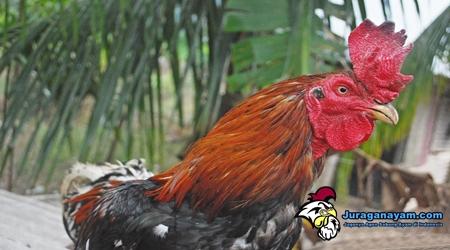 Ayam Petarung Hebat
