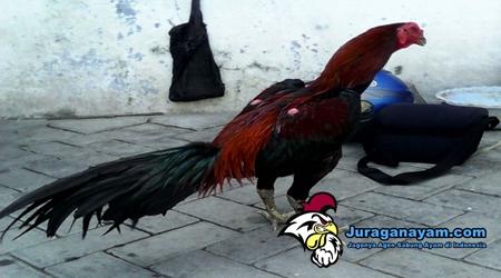 Ciri Ayam Aduan