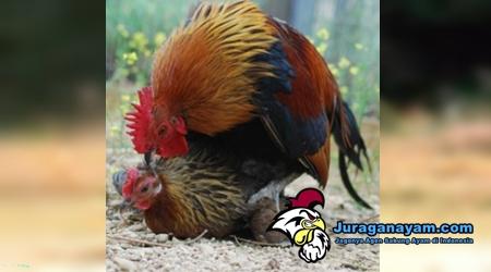 Mengawinkan Ayam