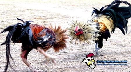 Meningkatkan Stamina Ayam Aduan