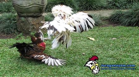 Penambah Tenaga Ayam