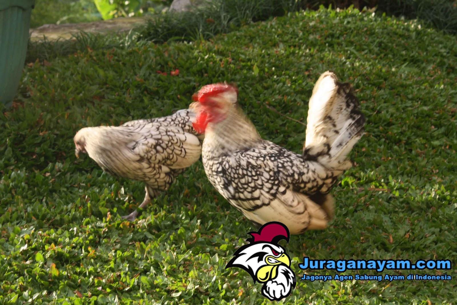 Ayam Batik