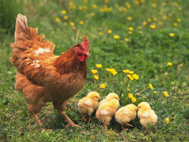 6 fakta menarik tentang ayam