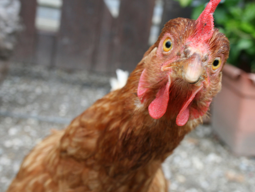 ayam memiliki ingatan bagus
