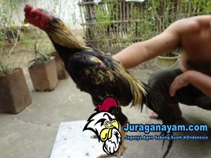 Ayam Online