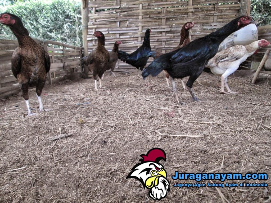 Memelihara Ayam Kampung
