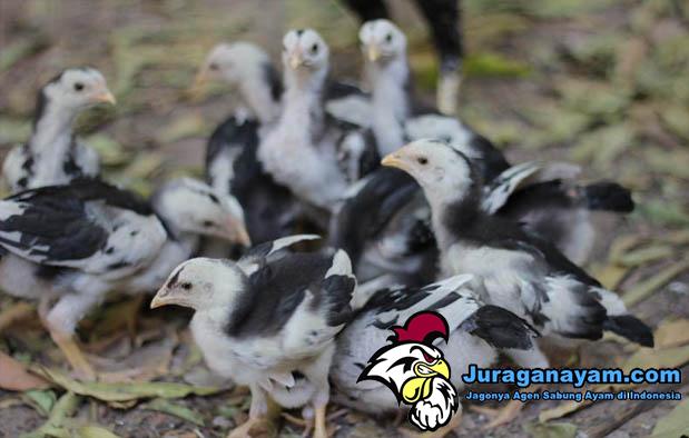 Pakan Anak Ayam Bangkok