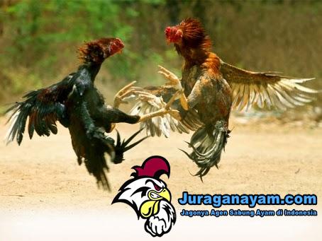 Ayam Petarung