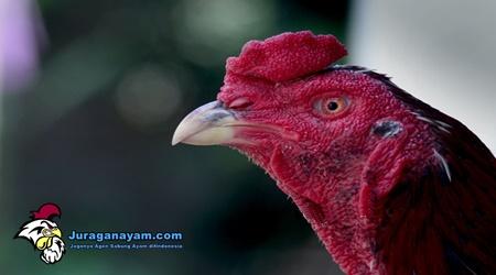 Ayam Bangkok Juara