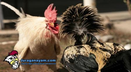 Sabung Ayam di Brunei