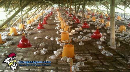 pengusaha ayam potong